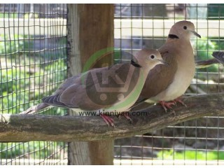 Ring Necked Dove
